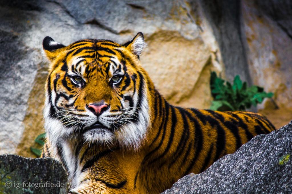 closeup tiger - wildlife picture
