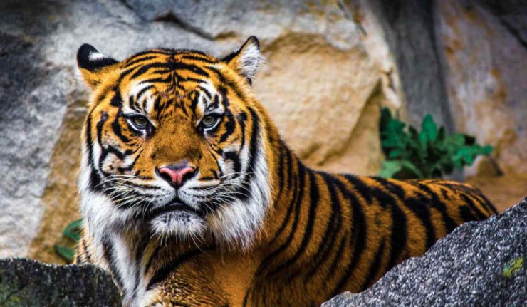 eye-of-the-tiger-tierfotografie