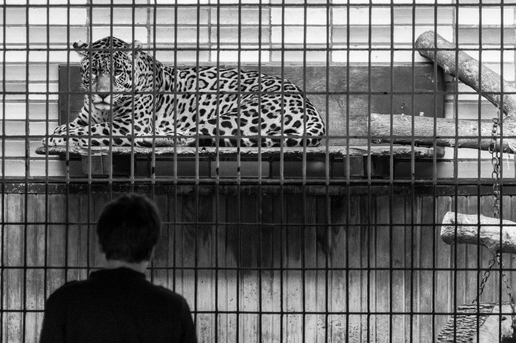 animals in the zoo: leopard in cage