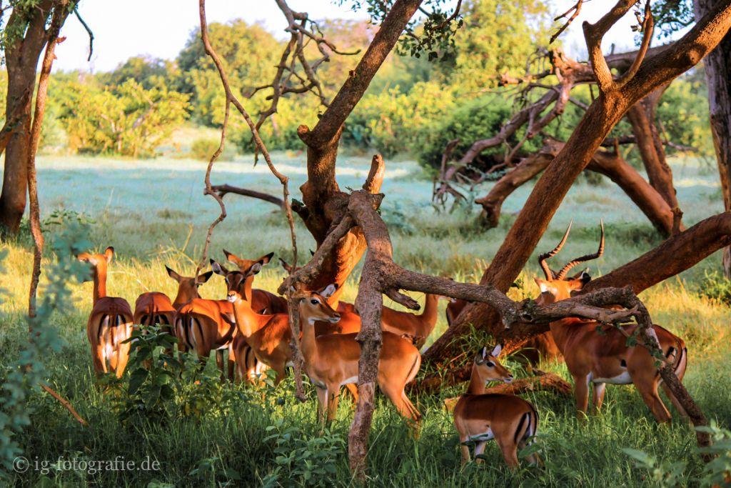 Fotosafari kenia Afrika: Antilopen zum Sonnenaufgang