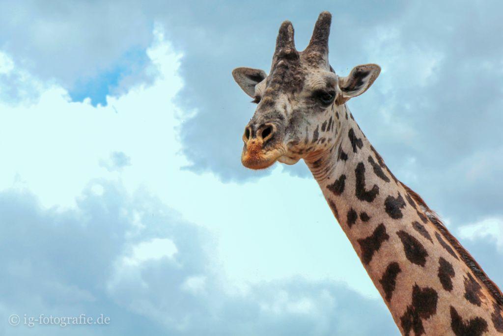 Fotosafari in Kenia - Afrika: Giraffe