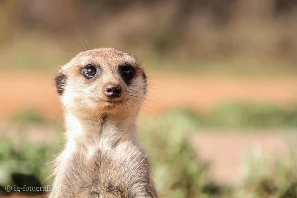 The Meerkat: Eine Erdmännchen Familie